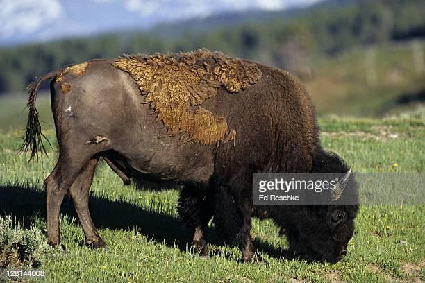 grazing bison, bison bison, yellowstone national park, wyoming, usa - comportamiento de animal fotografías e imágenes de stock