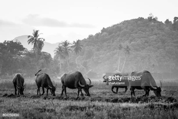 grazing buffalo on paddy field in langkawi, malaysia - shaifulzamri stock pictures, royalty-free photos & images