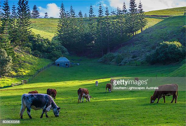 Grazing cattle at Arthur's Vale, Norfolk Island, south pacific ocean.