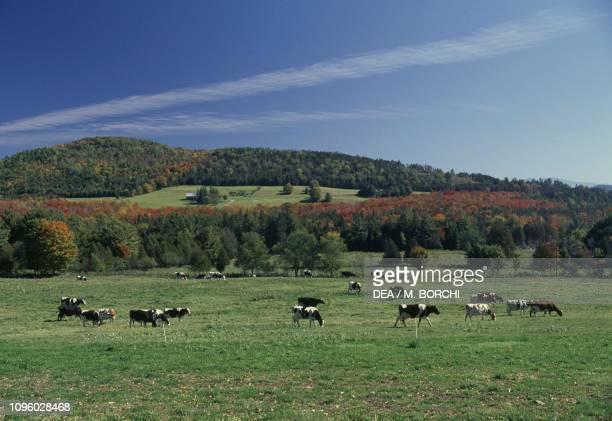 Grazing cattle near Peacham Northeast Kingdom Vermont United States of America