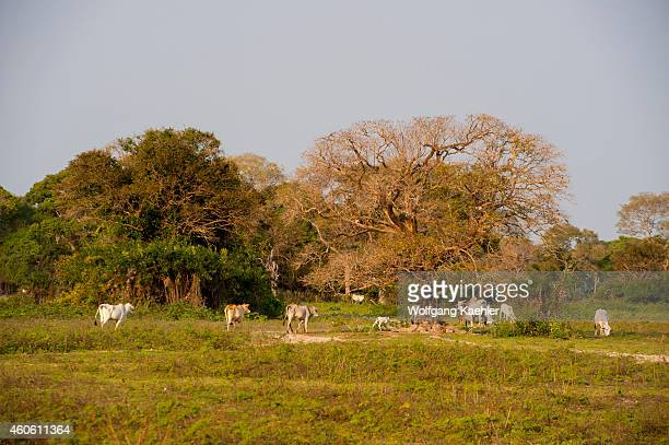 Grazing cattle near the Pouso Alegre Lodge in the northern Pantanal Mato Grosso province of Brazil