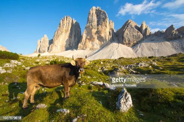 grazing cow at the tre cime di lavaredo - トレチーメディラバレード ストックフォトと画像