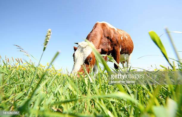 grazing cow - low angle view stock pictures, royalty-free photos & images