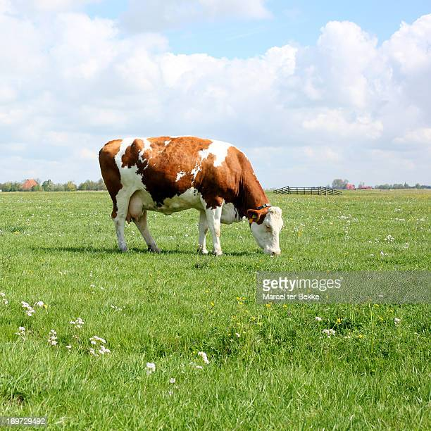 grazing cow - one animal stock pictures, royalty-free photos & images