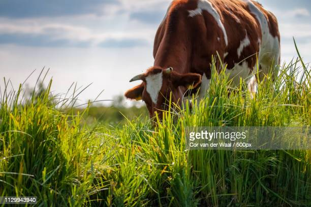 grazing cow with brown and white spots in green pasture - giethoorn stock pictures, royalty-free photos & images