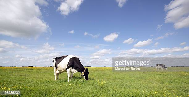 grazing cows in a pasture - netherlands stock pictures, royalty-free photos & images