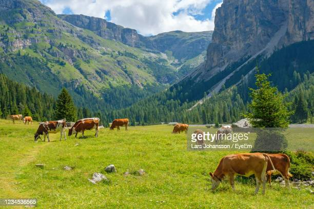 grazing cows in the valley in a beautiful alp landscape - 岩壁 ストックフォトと画像