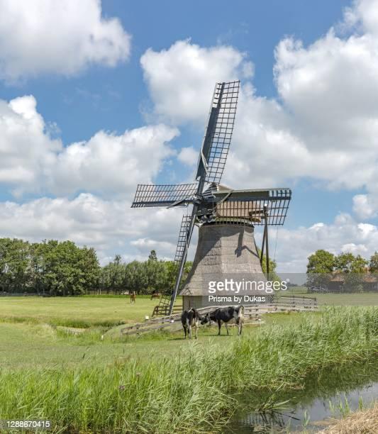 Grazing cows near the drainage mill called De Snip, Workum, Friesland, Netherlands.