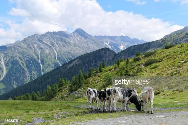 grazende koeien van de gerlos plattenkogel berg in de hoge tauern van het zillertal - grazen stockfoto's en -beelden