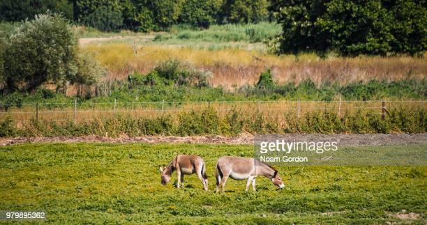 Grazing donkeys (Equus africanus asinus)