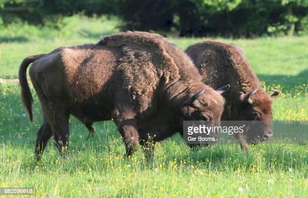 Grazing European Bisons