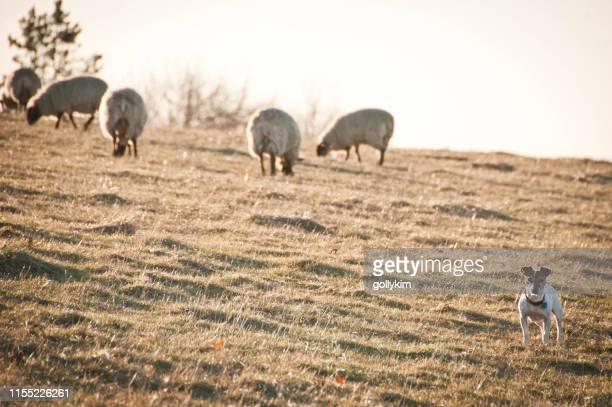 アフィントン白い馬の丘で羊の群れと犬の放牧 - アフィントン ストックフォトと画像