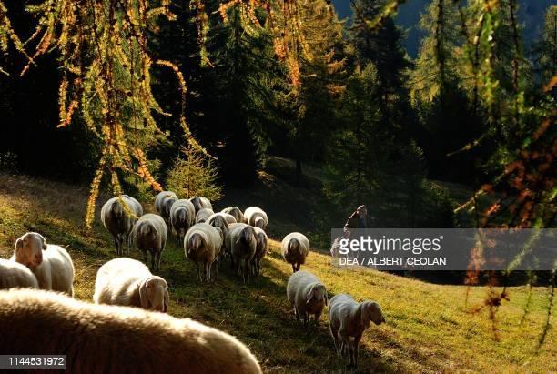 Grazing flock of sheep autumn landscape Bellamonte Predazzo Fiemme Valley TrentinoAlto Adige Italy