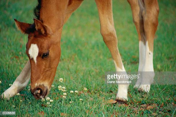 grazing foal - herbivorous stock pictures, royalty-free photos & images