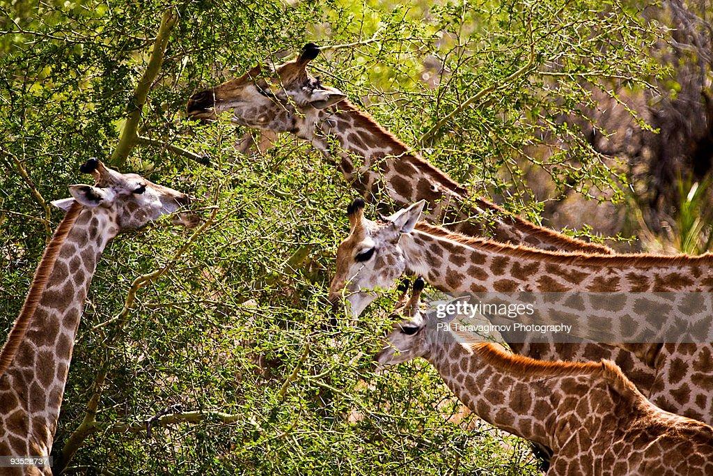 4 grazing giraffes : Stock Photo