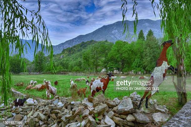 grazing goats - dimitrios tilis stock pictures, royalty-free photos & images
