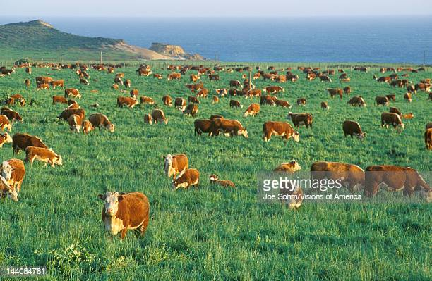 Grazing Hereford cattle on PCH CA