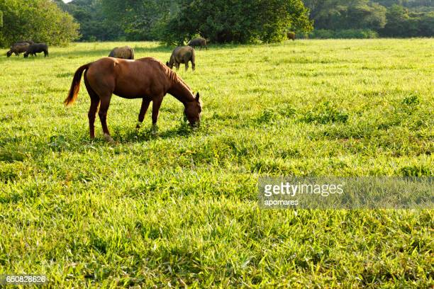 Grazing horse in a meadow at summer time