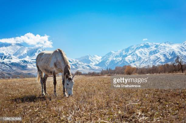 grazing horse near the mountains with snow - kirgizië stockfoto's en -beelden