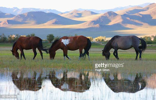 grazing horses - hugh sitton stock pictures, royalty-free photos & images