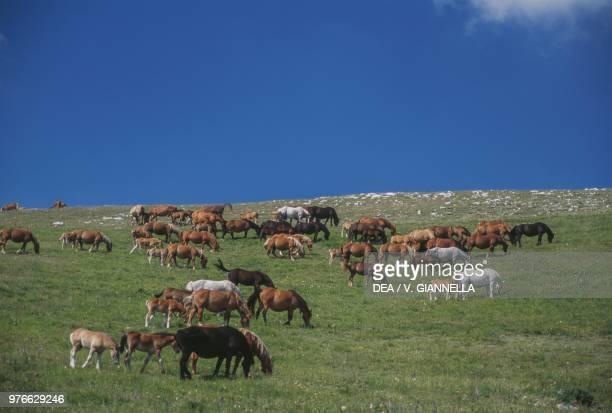 Grazing horses, Plateau of Castelluccio di Norcia, Monti Sibillini National Park, Umbria, Italy.