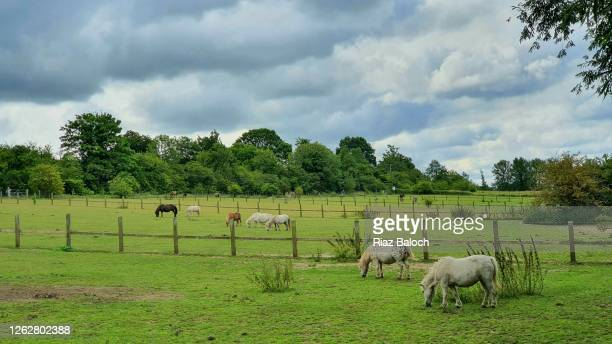 grazing in formation - pasture stock pictures, royalty-free photos & images
