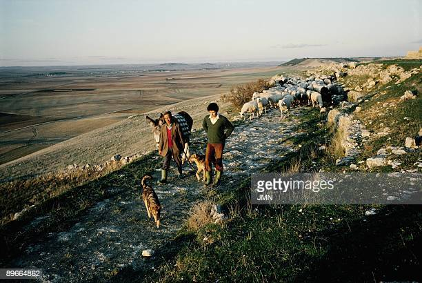 Grazing in Urena Two shepherds led a flock of sheep for a path Uruena Valladolid province