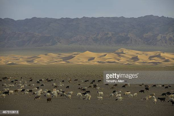 grazing livestock at the singing dunes, mongolia - omnogov stock pictures, royalty-free photos & images
