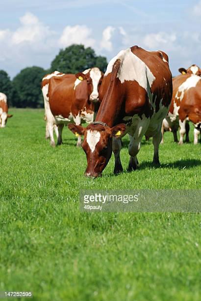 Grazing Red Holstein cow between the herd.