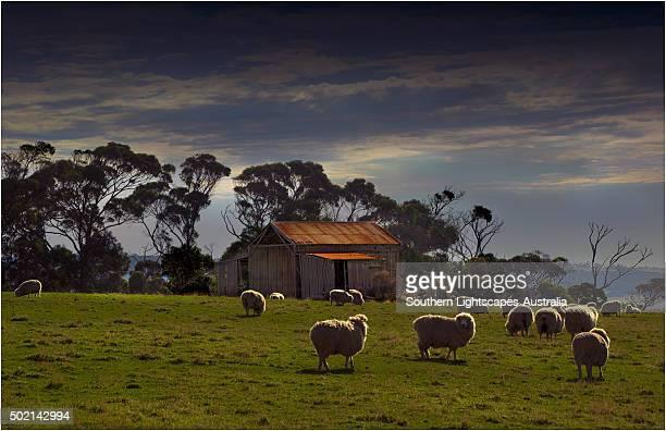 Grazing sheep near Emita, Flinders Island, Tasmania.