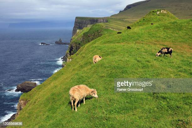 grazing sheep near to a steep cliff on a grassy mountain of mykines island - rainer grosskopf stock-fotos und bilder