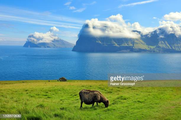 grazing sheep on a meadow with dramatic cloud formations on steep mountains in the background - rainer grosskopf stockfoto's en -beelden