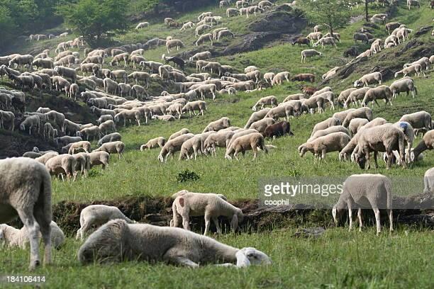 Pascolare di pecore