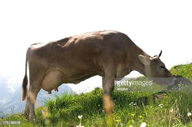 Brouter Vache suisse