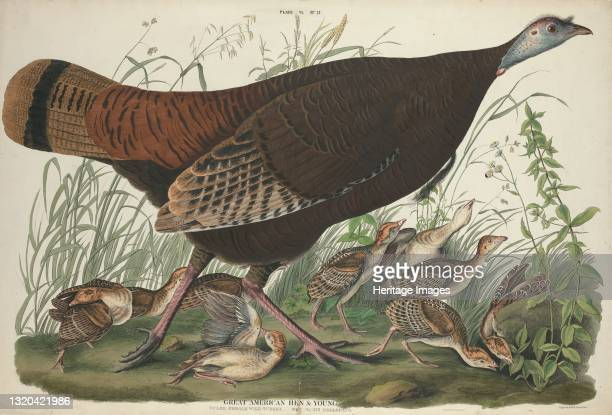 Great American Hen and Young, 1827. [Vulgo, female wild turkey. Meleagris gallopavo]. Artist William Home Lizars.