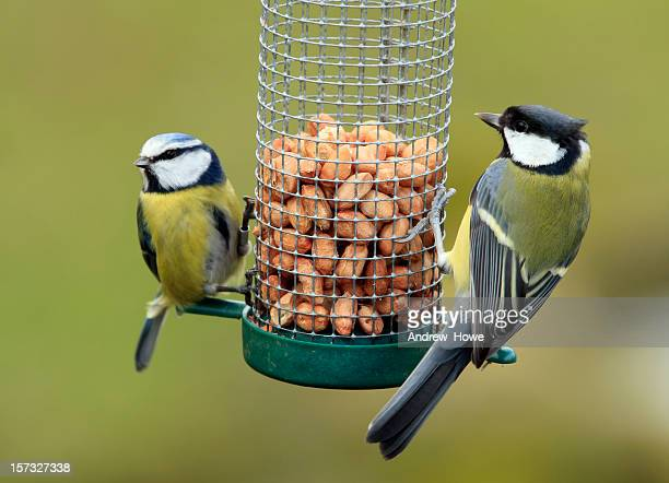great and blue tit feeding - feeding stock pictures, royalty-free photos & images