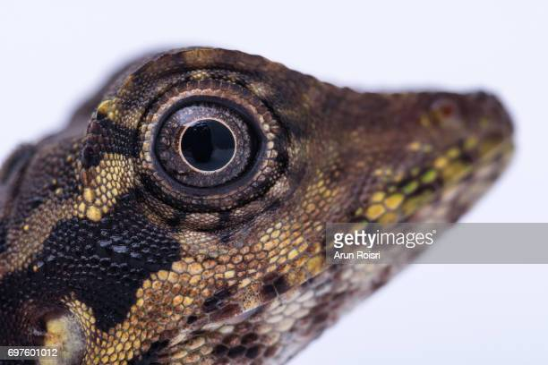 Great Angled-headed Lizard (Gonocephalus grandis)