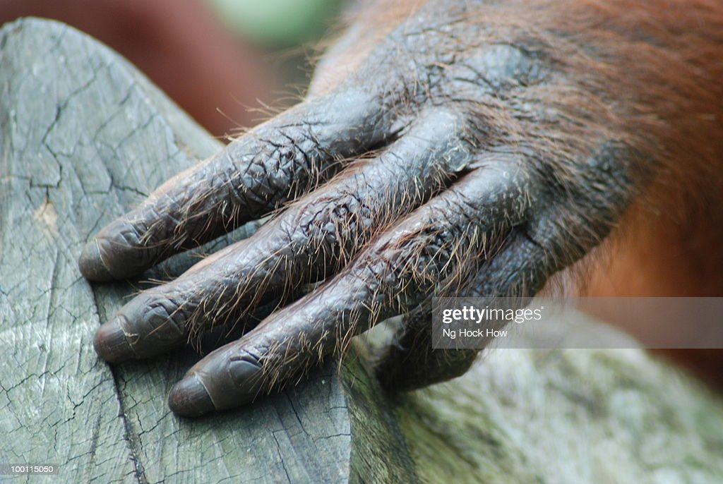Great Ape : Stock Photo