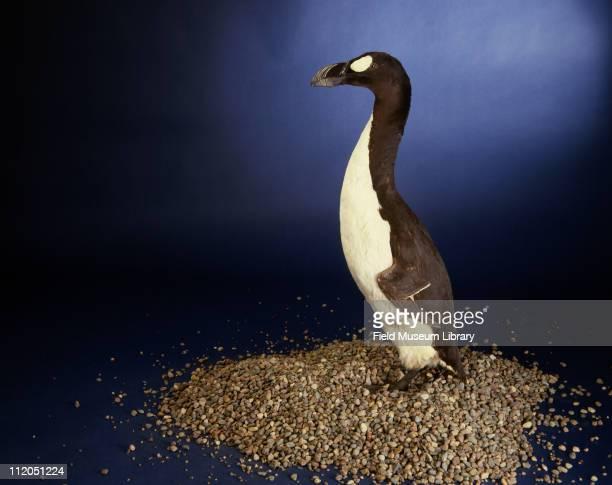 Great Auk specimen of extinct bird 1986