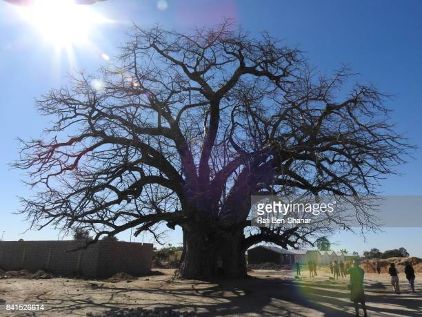 Great baobab tree
