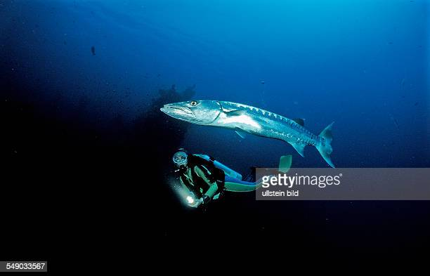 Great Barracuda and scuba diver, Sphyraena barracuda, Bali, Indian Ocean, Indonesia