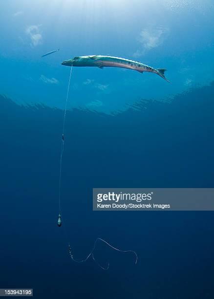 Great Barracuda hooked with fishing line in Atlantic Ocean.