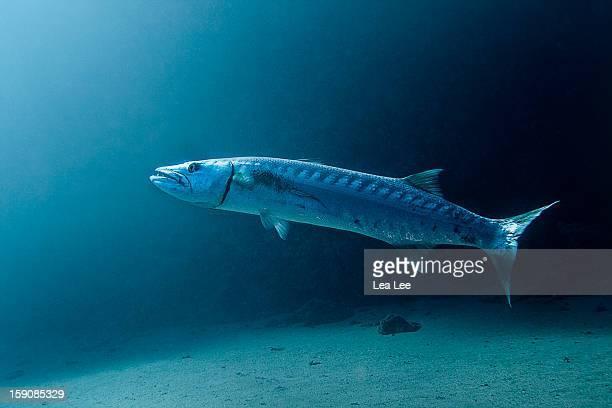 great barracuda - barracuda foto e immagini stock