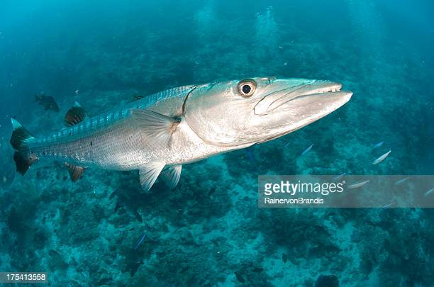 barracuda - barracuda foto e immagini stock