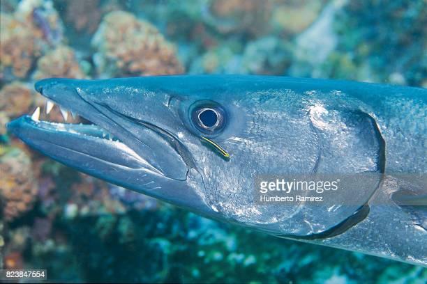 great barracuda. - barracuda foto e immagini stock