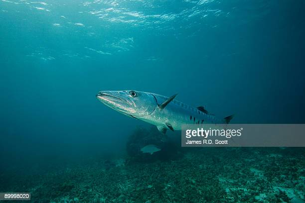 great barracuda - barracuda stock pictures, royalty-free photos & images