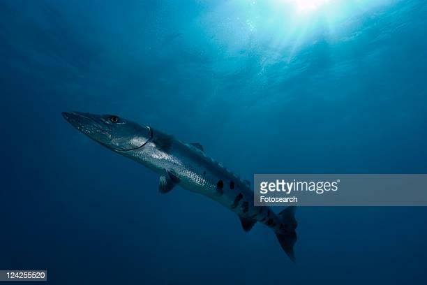 great barracuda, sphyraena barracuda. molasses reef, key largo, florida, usa, atlantic ocean - barracuda foto e immagini stock