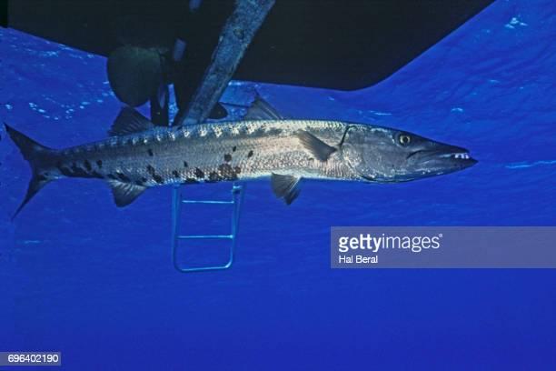 great barracuda swimming under dive boat - barracuda foto e immagini stock