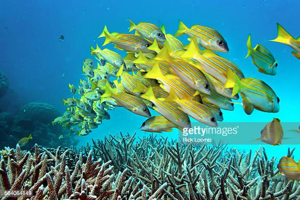 Great Barrier Reef Australia – A school of fish stay close to another as they hoover over staghorn coral on the Great Barrier Reef in Australia The...