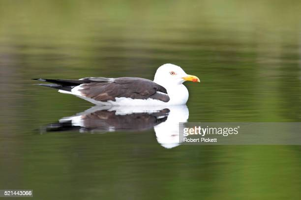Great Black Backed Gull, Larus marinus, Finland